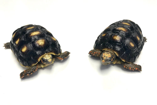 "Small Red Foot Tortoise (4""-5"" Unsexed)"