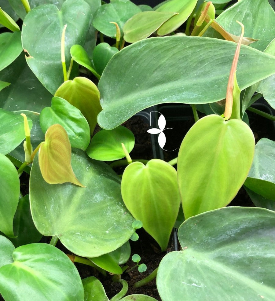 Philodendron Green Heart Leaf