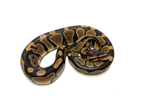 Baby het Genetic Stripe/Toffee Ball Python