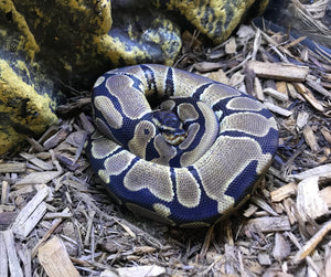 Baby Ball Python het Candy/Toffee