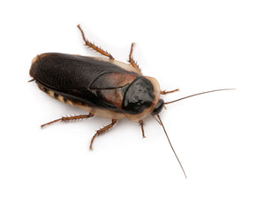 Dubia Roaches - In Store Only