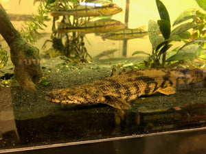 "Polypterus endlicheri ""Saddled Bichir"""