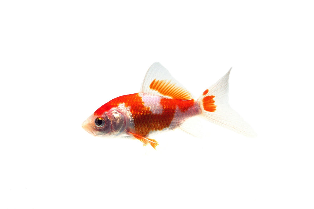 Comet Goldfish - In Store Only