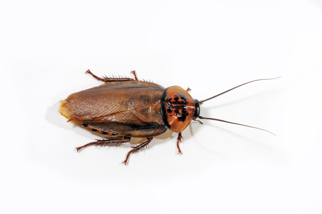 Orange Head Roaches - In Store Only