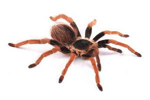 Colombian Giant Red Leg Tarantula