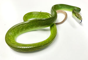 Adult Malaysian Red Tailed Green Ratsnakes