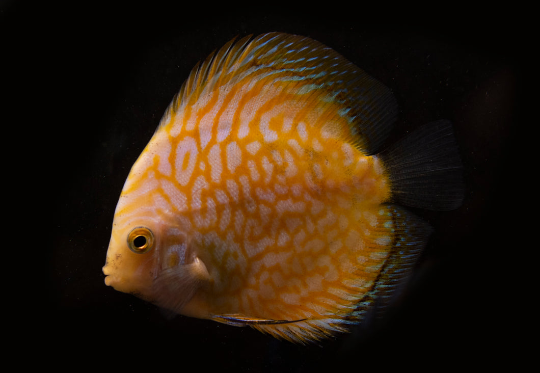 Yellow Pigeon Blood Discus