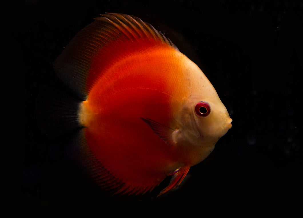Red Melon Discus (Large)