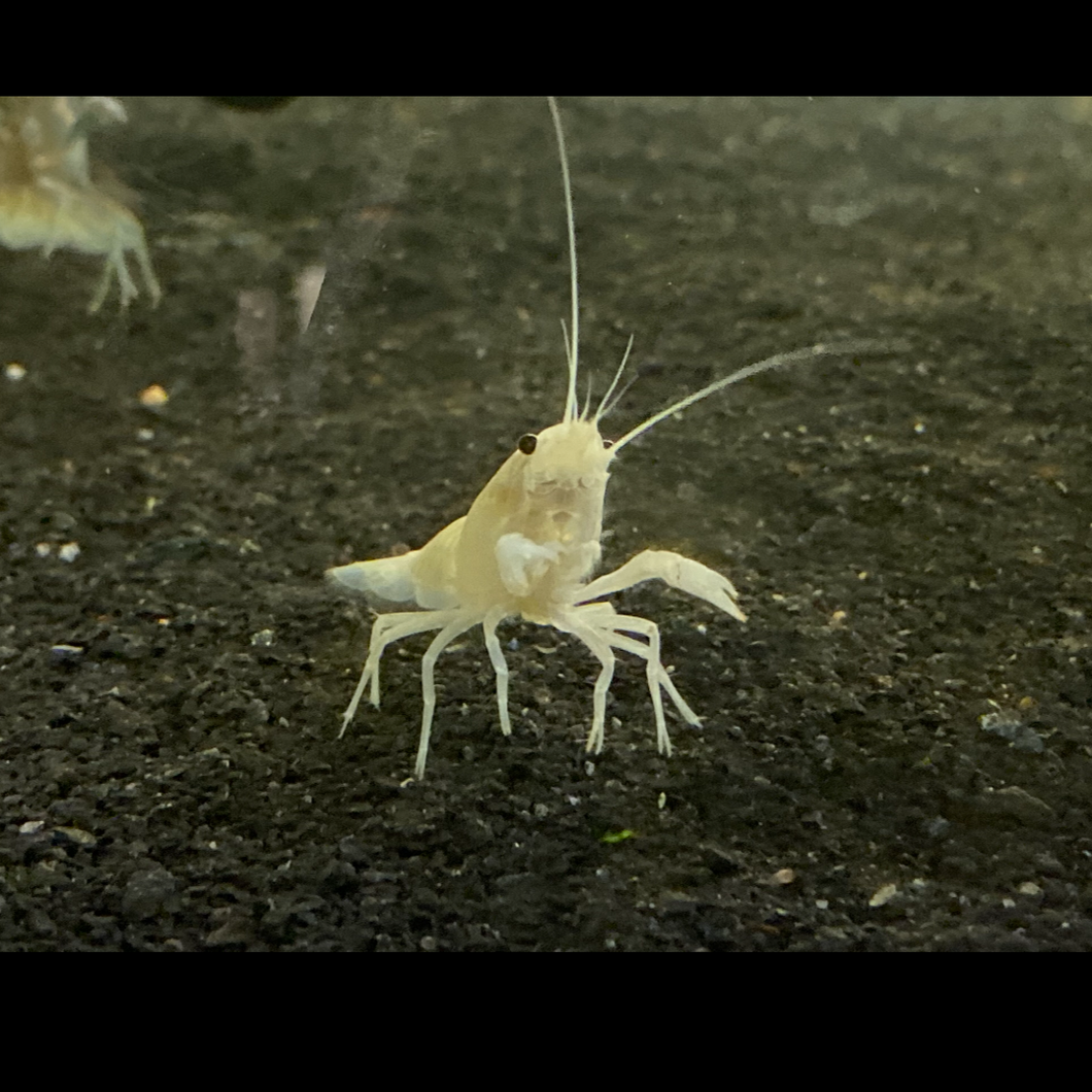 Snow White Crayfish