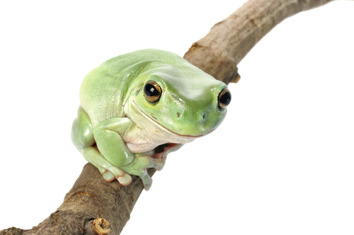 Australian White's Tree Frogs