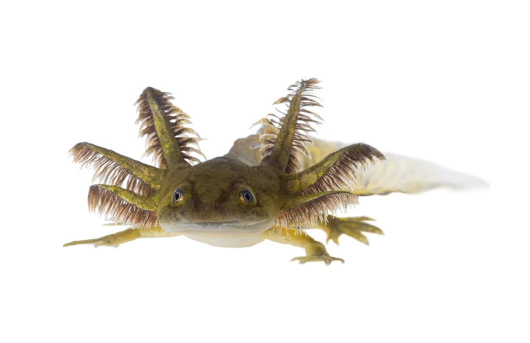 Water Dog (Tiger Salamander)