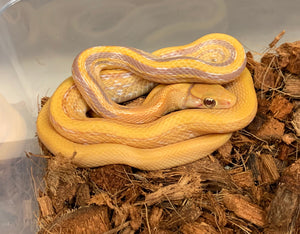 Albino Radiated Ratsnake