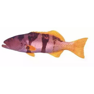 Blacksaddle Coral Trout (帝王星斑)