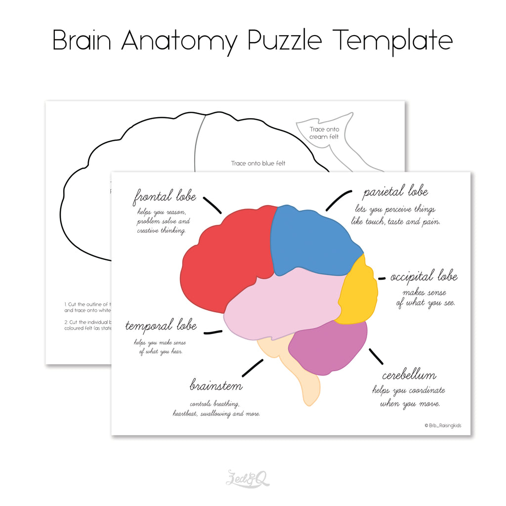 Brain Anatomy Puzzle Template