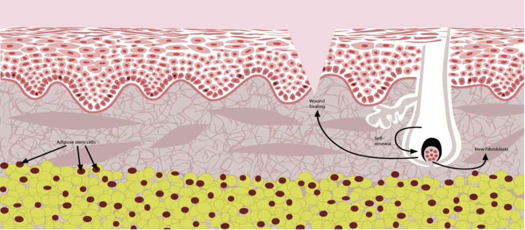 Skin cross section showing follicular stem cells in dermal layer and adipose stem cells in hypodermis, Stemology Skin Care