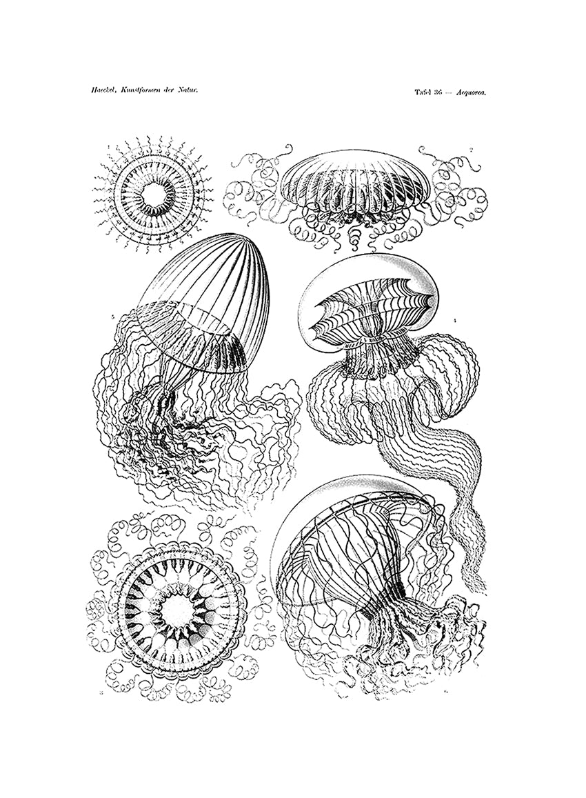 Jellyfishes Print