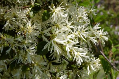 Friday Feature Plant: Snow Panda Loropetalum