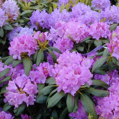 Friday Feature Plant: Boursault Rhododendron