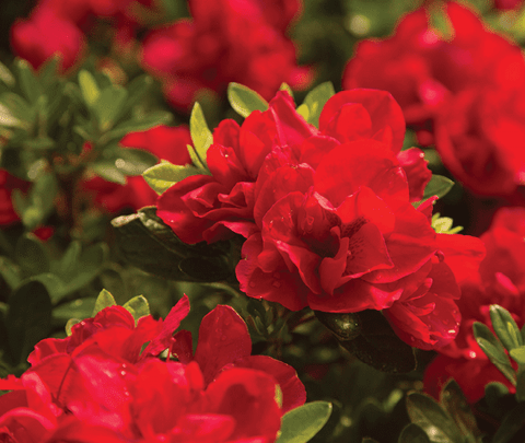 Friday Feature Plant: Autumn Bonfire™ Encore® Azalea