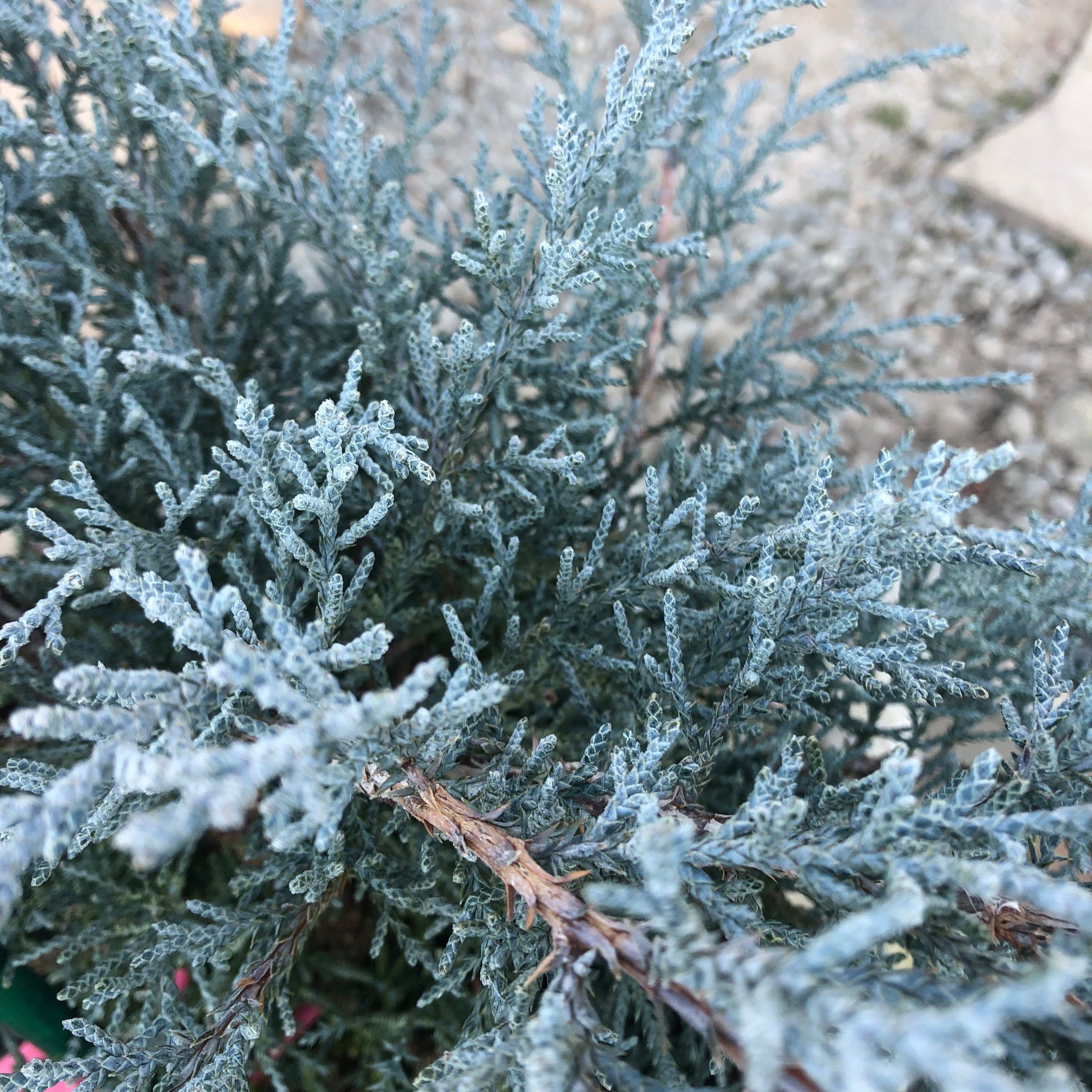 Angelica Blue Juniper