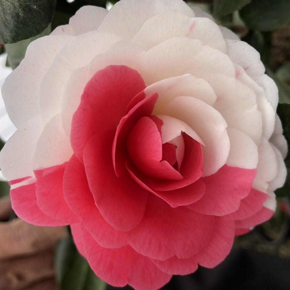 April Dawn Camellia