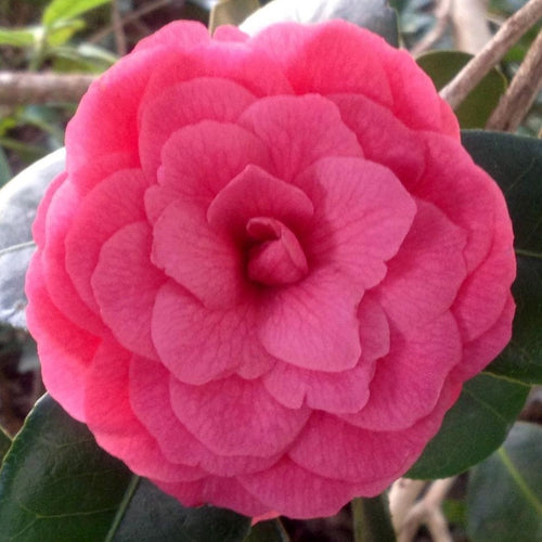 April Kiss Camellia