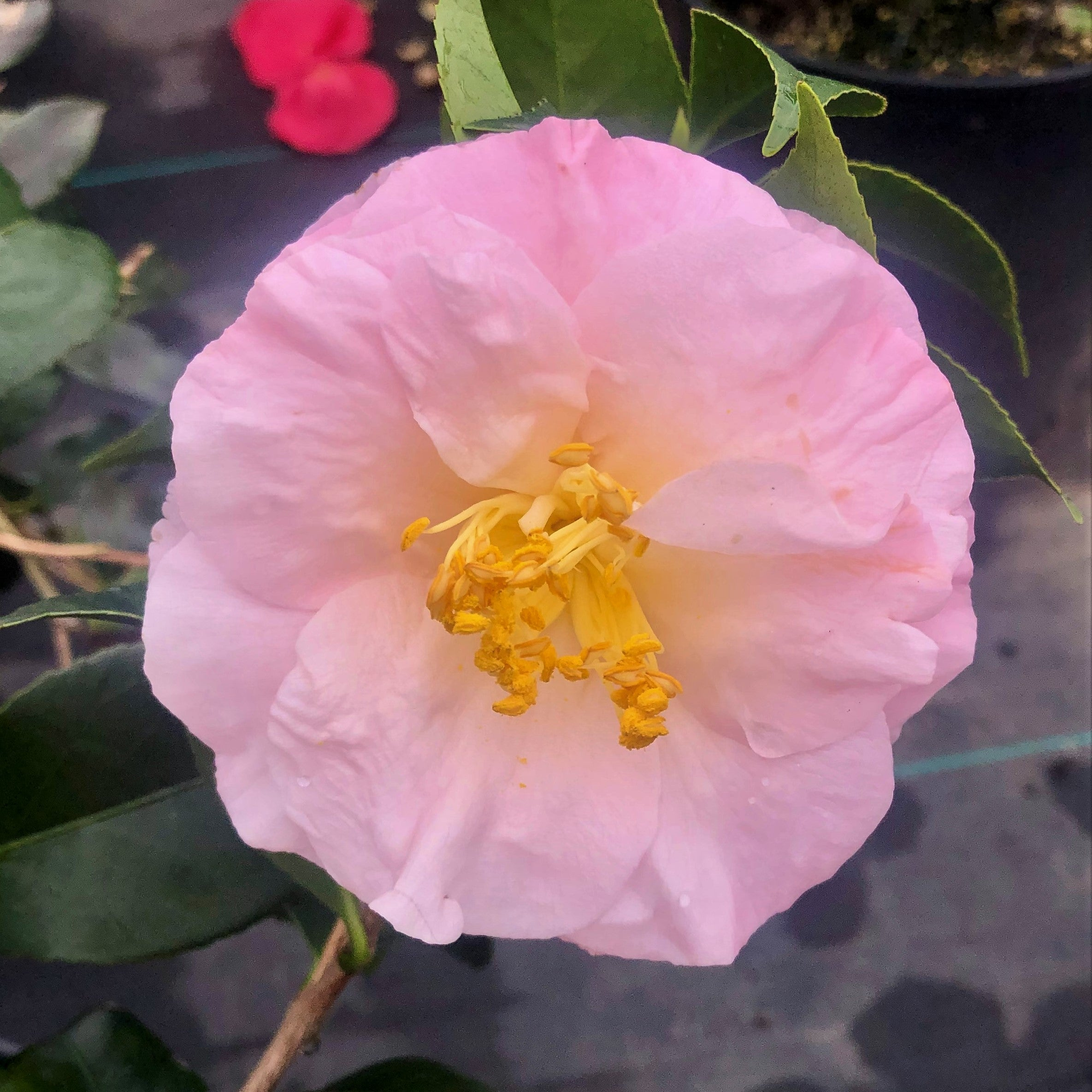 April Blush Camellia