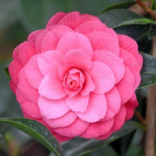 April Rose Camellia