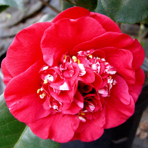 April Tryst Camellia