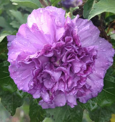 Blueberry Smoothie™ Hibiscus 'Rose of Sharon'