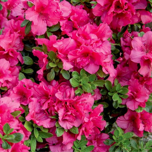 Bloom-A-Thon® Hot Pink Azalea