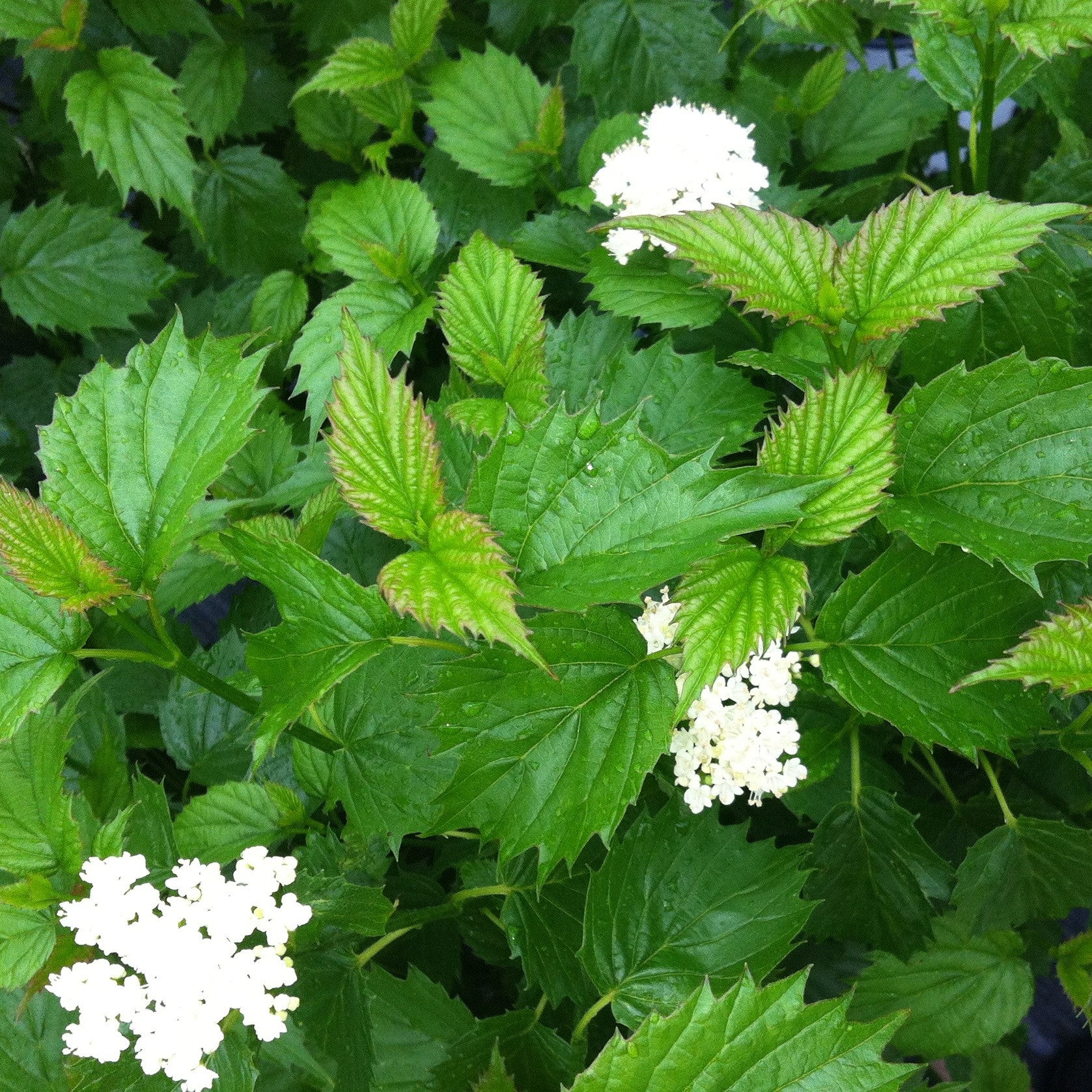 Blue Muffin® Arrowwood Viburnum