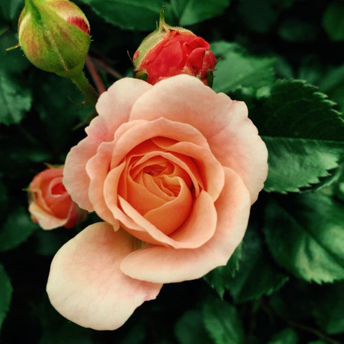 Coral Knock Out® Rose