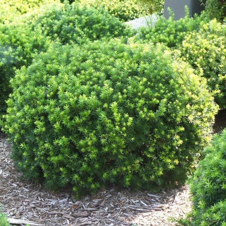 Dense Spreading Yew 3 Gallon Container Lots Of Plants