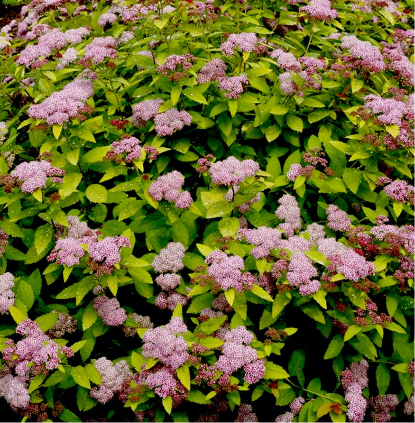 Double Play® Big Bang Spirea