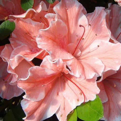Autumn Sunburst® Encore Azalea