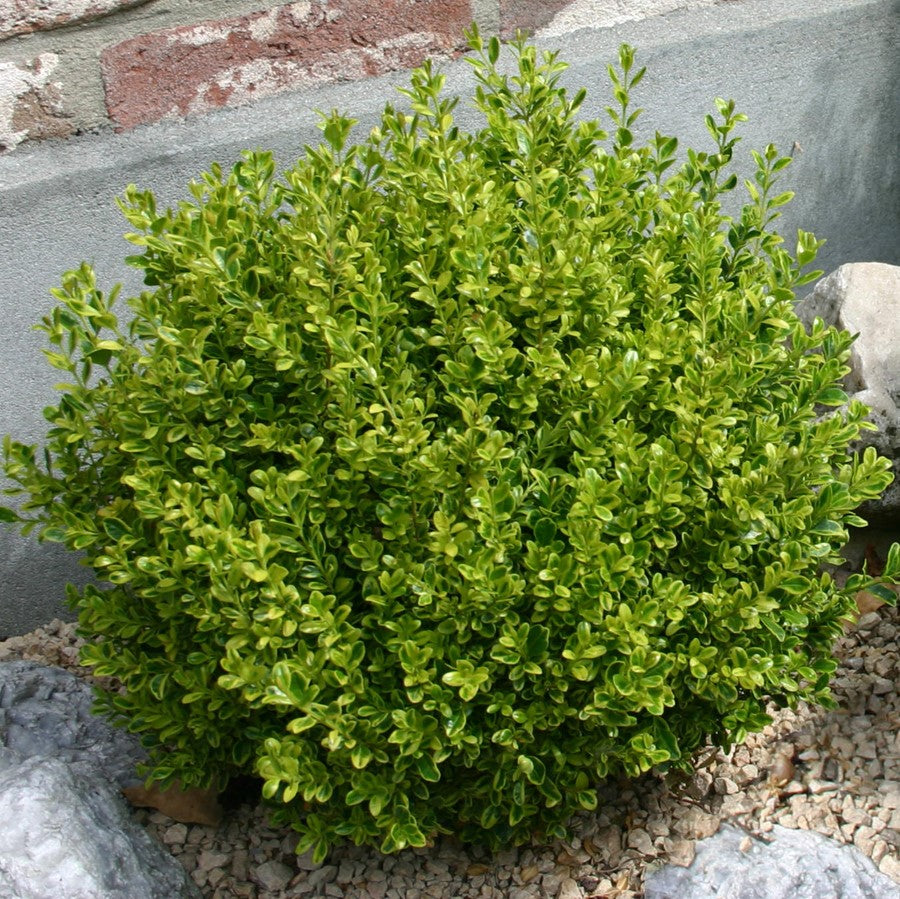 Golden Dream Boxwood