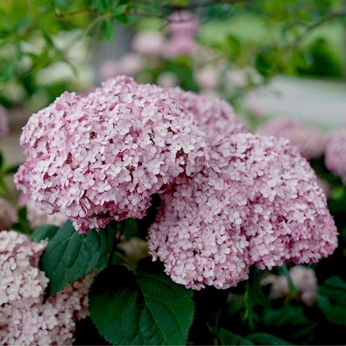 Incrediball® Blush Arborescens Hydrangea- 3 gallon