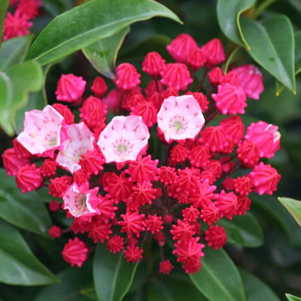 Ostbo Red Mountain Laurel