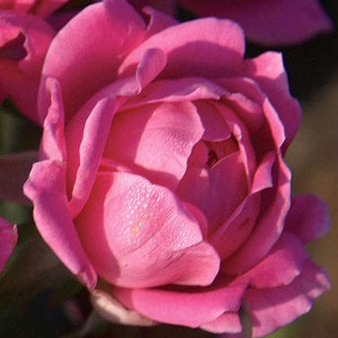 Double Pink Knock Out® Rose
