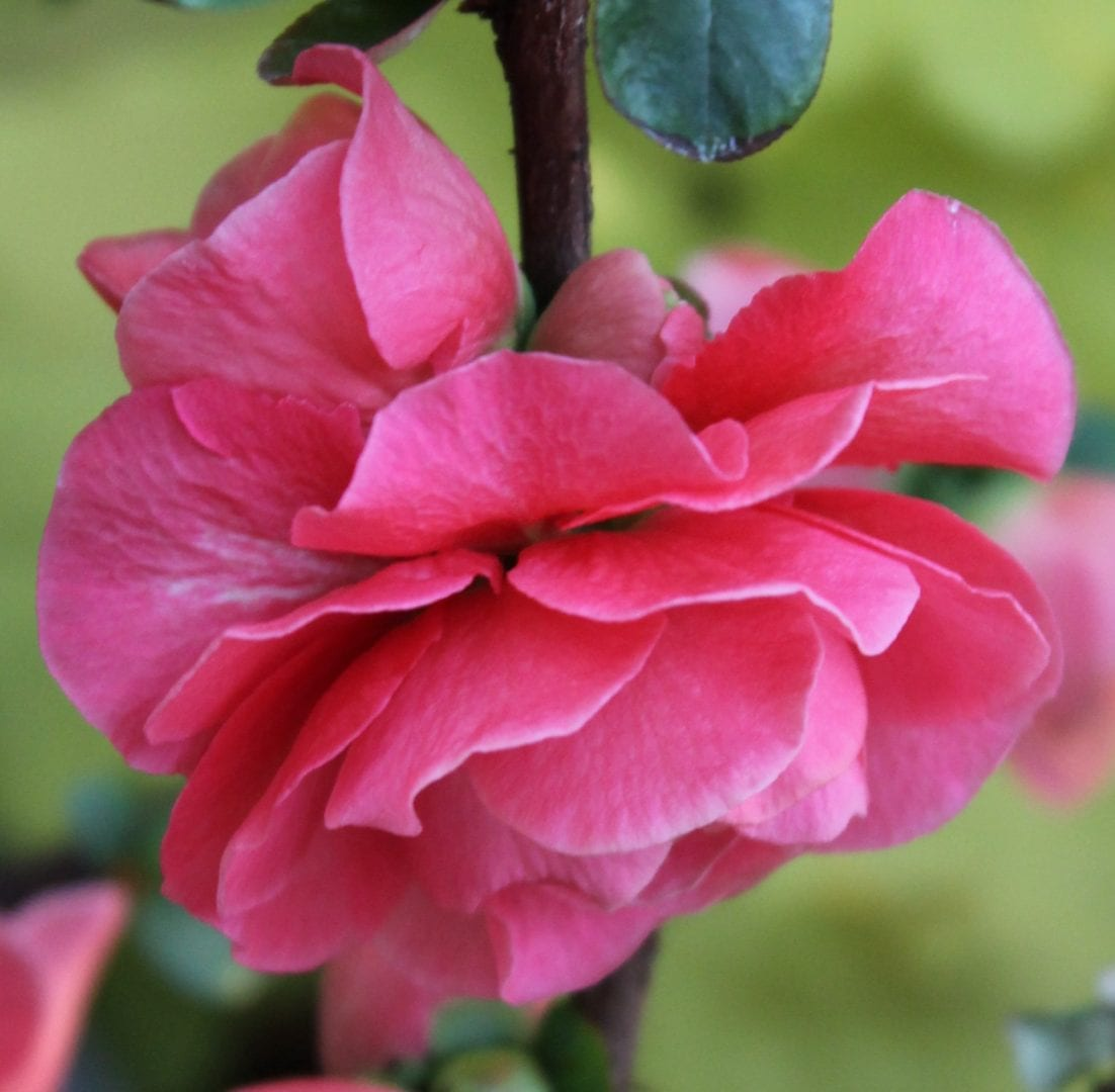Double Take™ Pink Storm Quince