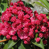 Raspberry Glow Mountain Laurel