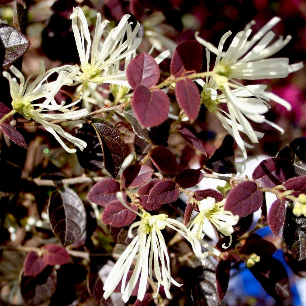 Ruby Snow™ Loropetalum