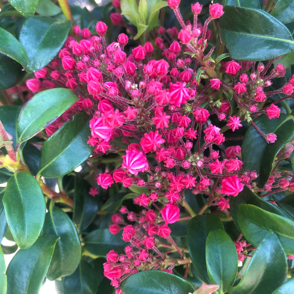 Starburst Mountain Laurel