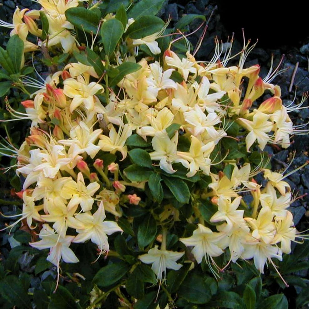 Weston's Lemon Drop Deciduous Azalea