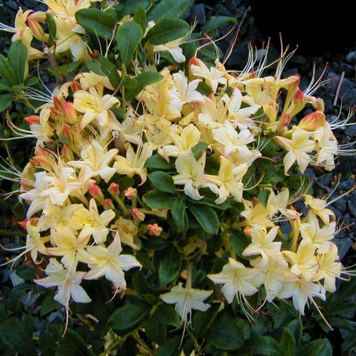 Weston's Lemon Drop Deciduous Azalea- 2 gallon