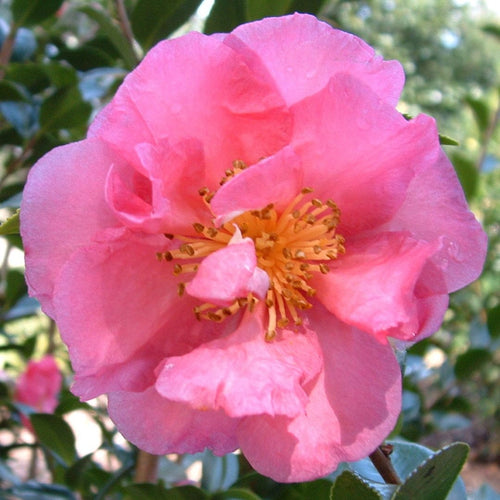 Ballet in the Pink Camellia