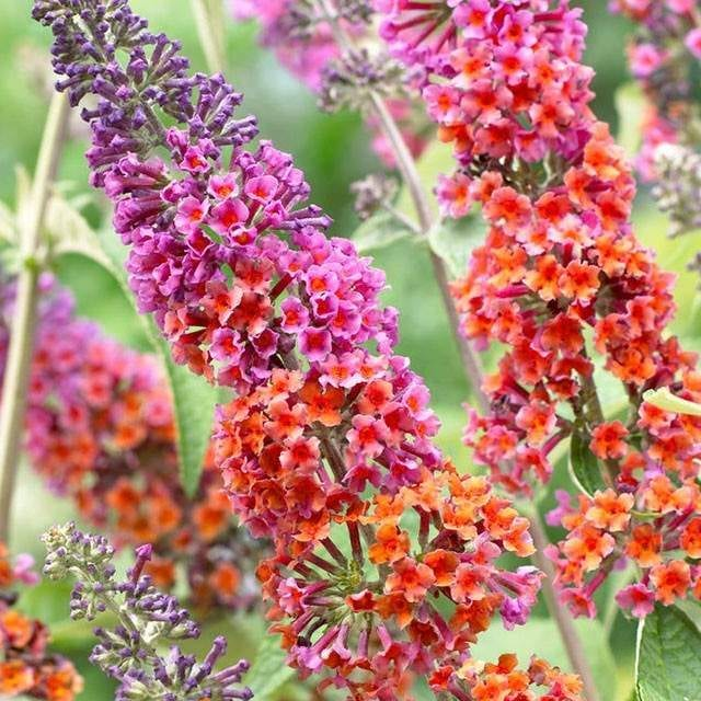 Kaleidoscope Bicolor Butterfly Bush