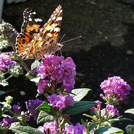 Lo and Behold® Blue Chip Butterfly Bush