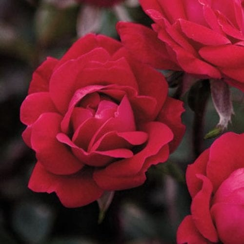 Double Red Knock Out® Rose